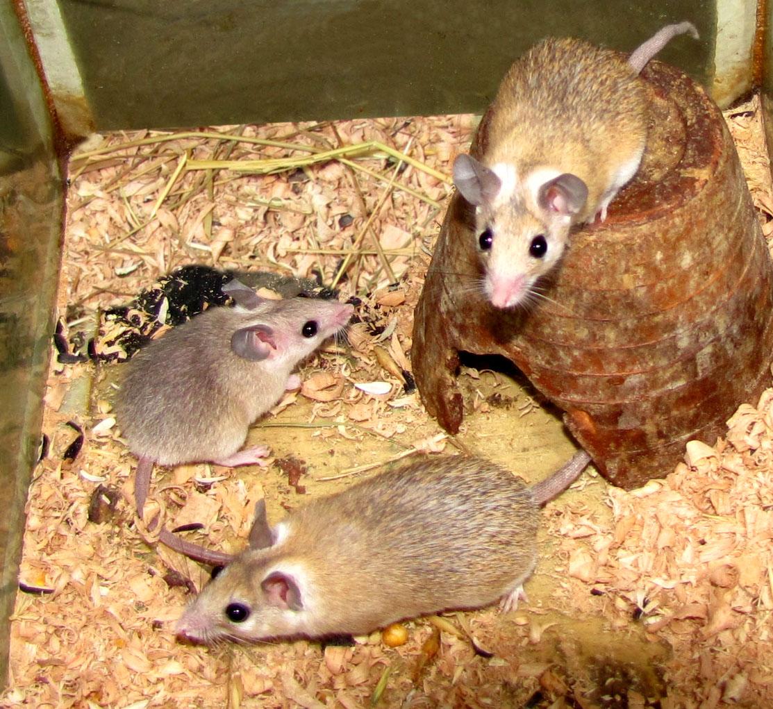 Содержание мыши в домашних условиях